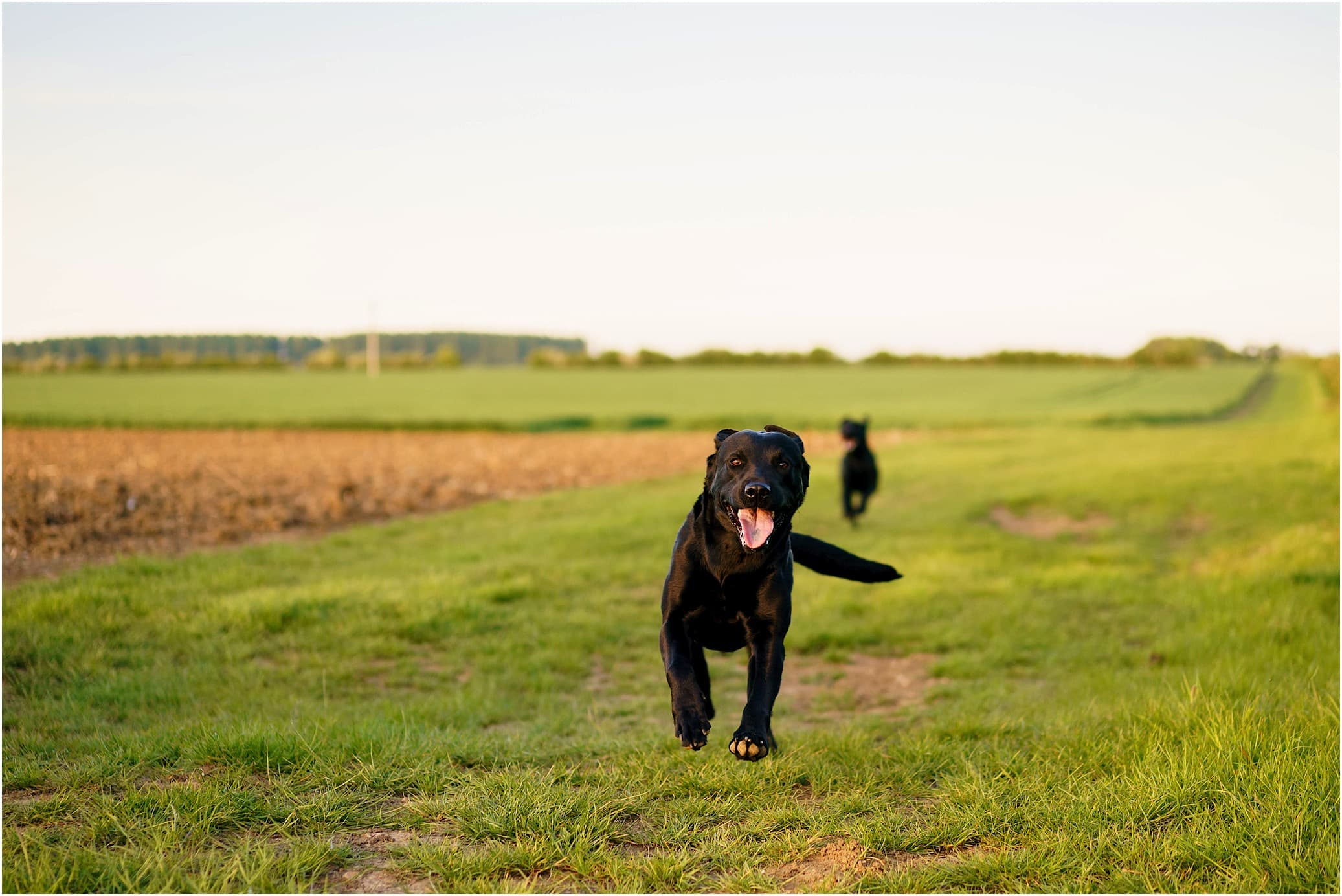 Running black labrador