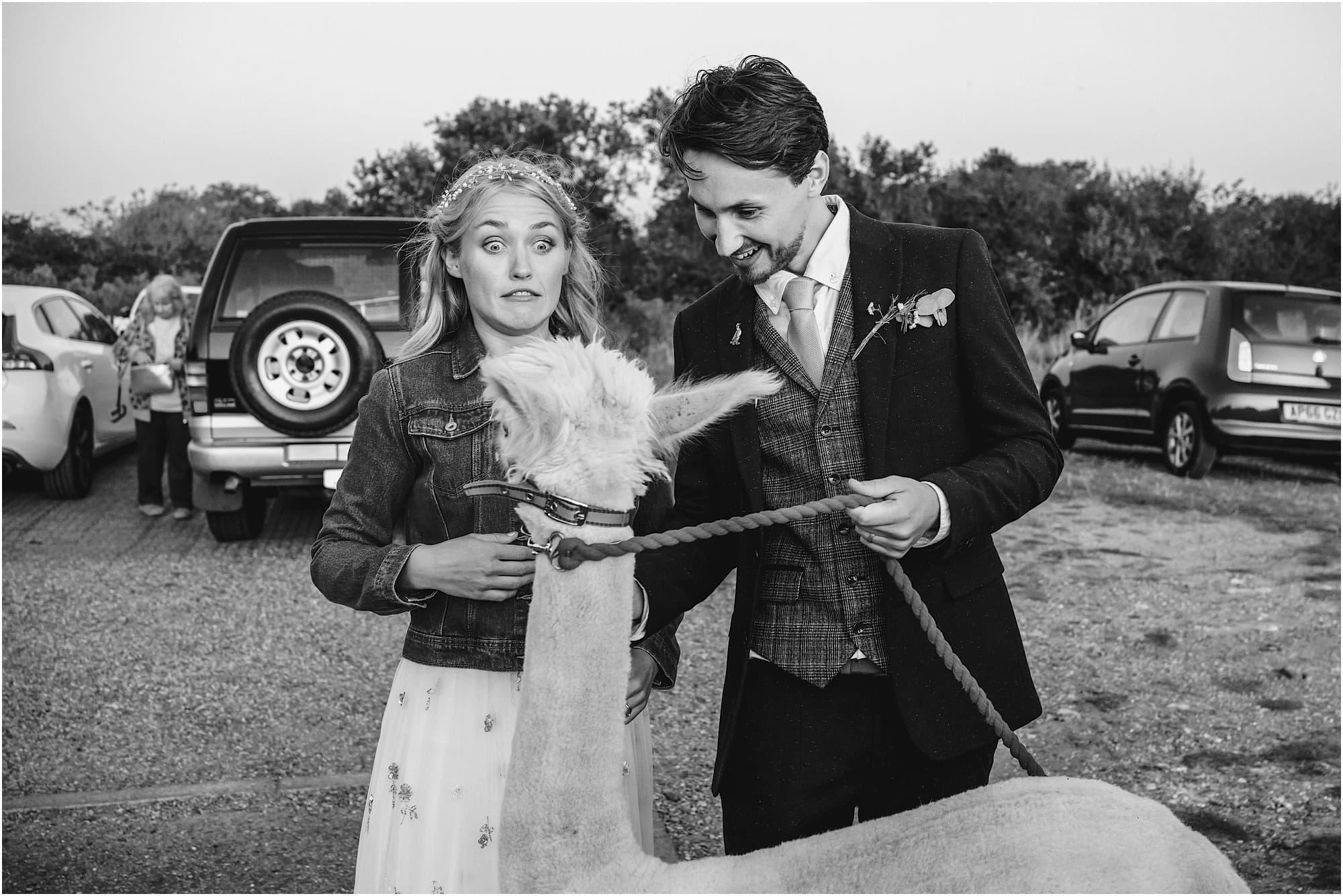 funny photo of alpaca and bride